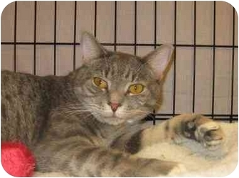 Domestic Shorthair Cat for adoption in Jenkintown, Pennsylvania - Grayson