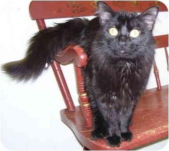 Domestic Longhair Cat for adoption in Somerset, Pennsylvania - Ian