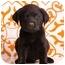 Photo 1 - Labrador Retriever Mix Puppy for adoption in Portland, Oregon - Ajax