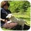 Photo 3 - Labrador Retriever/Basset Hound Mix Puppy for adoption in Portsmouth, Rhode Island - Snowflake