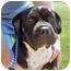 Photo 1 - Basset Hound/American Bulldog Mix Dog for adoption in Marseilles, Illinois - Beatrice