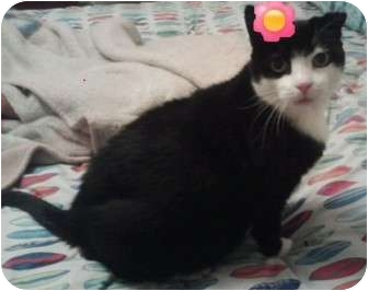 Domestic Shorthair Cat for adoption in Breinigsville, Pennsylvania - Tara