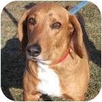 Bloodhound/Shepherd (Unknown Type) Mix Dog for adoption in Wheaton, Illinois - Rusty