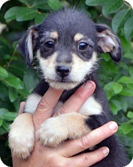 Wirehaired Fox Terrier/Chihuahua Mix Puppy for adoption in Allentown, Pennsylvania - Lucky