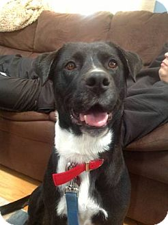 Labrador Retriever/Border Collie Mix Dog for adoption in Plainfield, Illinois - Phoenix