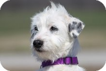 Terrier (Unknown Type, Small)/Jack Russell Terrier Mix Dog for adoption in Russellville, Kentucky - Pearl