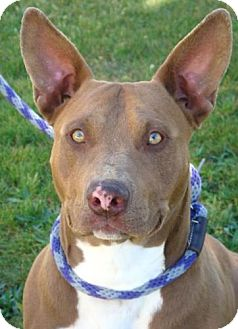 Bull Terrier Mix Dog for adoption in Red Bluff, California - Nigel-$45 Adoption Fee
