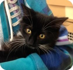 Domestic Shorthair Kitten for adoption in Warren, Michigan - Lele aka LeeLee