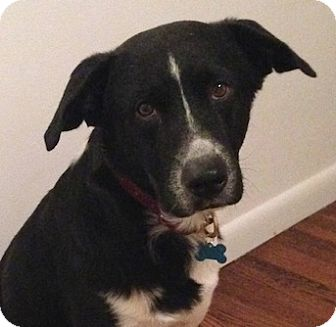 Border Collie/Labrador Retriever Mix Dog for adoption in Miami, Florida - Boston