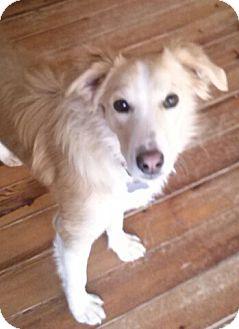 Retriever (Unknown Type) Mix Dog for adoption in richmond, Virginia - Ricky