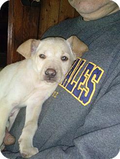 Labrador Retriever Mix Puppy for adoption in Charlestown, Rhode Island - Luke
