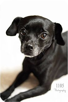 Chihuahua Mix Dog for adoption in London, Ontario - Candi