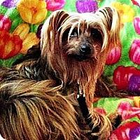 Adopt A Pet :: Saffy - Somers, CT