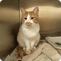 Adopt A Pet :: Bradley (Dog-Friendly Sweetie) - Arlington, VA