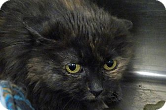 Domestic Longhair Cat for adoption in Elyria, Ohio - Cinder