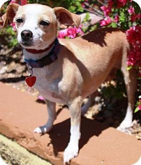 Dachshund/Chihuahua Mix Dog for adoption in Gilbert, Arizona - Kharman