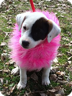 Pointer/Collie Mix Dog for adoption in Germantown, Tennessee - Pippa