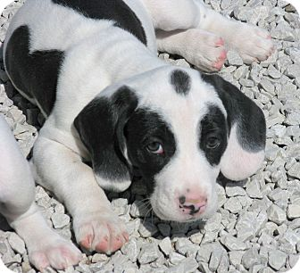 Basset Hound/Boxer Mix Puppy for adoption in Indianapolis, Indiana - Abner