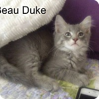 Adopt A Pet :: Beau Duke - Bentonville, AR