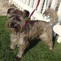 Schnauzer (Miniature)/Cairn Terrier Mix Dog for adoption in Santa Ana, California - Toto