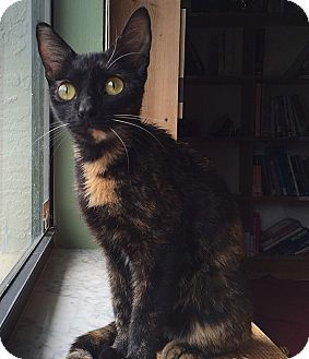 Domestic Shorthair Cat for adoption in Tampa, Florida - Shelly