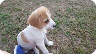 Beagle/Spaniel (Unknown Type) Mix Puppy for adoption in HARRISBURG, Pennsylvania - SPOTIFY