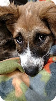 Australian Shepherd/St. Bernard Mix Puppy for adoption in South Dennis, Massachusetts - Kassie