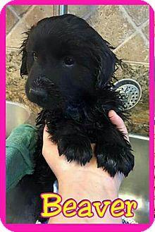 Australian Shepherd/German Shepherd Dog Mix Puppy for adoption in Mesa, Arizona - Beaver