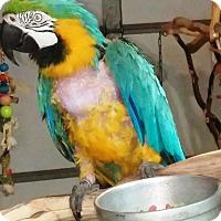 Macaw for adoption in Lenexa, Kansas - Piccachu