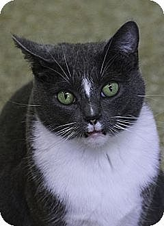 Domestic Shorthair Cat for adoption in Chicago, Illinois - Laverne