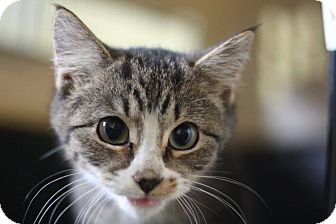Domestic Shorthair Kitten for adoption in Astoria, New York - Balthazar (Kings)