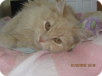 Domestic Longhair Cat for adoption in Ridgway, Colorado - Riley