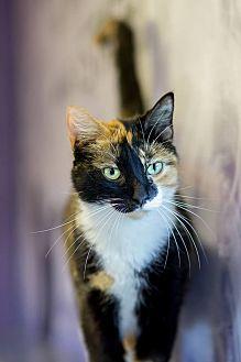 American Shorthair Cat for adoption in Holden, Missouri - Addison