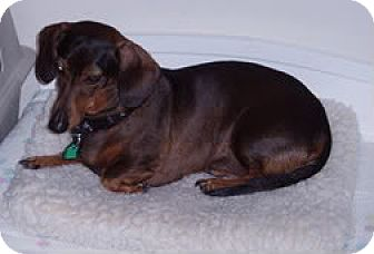 Dachshund Dog for adoption in Jacobus, Pennsylvania - Coco