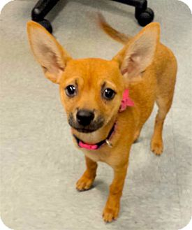 Chihuahua Mix Puppy for adoption in Scottsdale, Arizona - Jacki