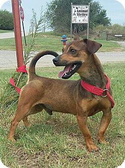 Chihuahua/Dachshund Mix Dog for adoption in Perkins, Oklahoma - Phelps