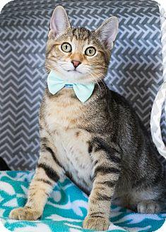 Domestic Shorthair Kitten for adoption in Montclair, California - Steven