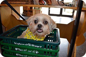 Lhasa Apso Mix Dog for adoption in Houston, Texas - Bootsie Barkley