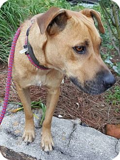 Labrador Retriever/Shepherd (Unknown Type) Mix Dog for adoption in Sturbridge, Massachusetts - Sandy