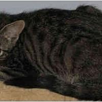 Domestic Shorthair Cat for adoption in Thibodaux, Louisiana - Jack