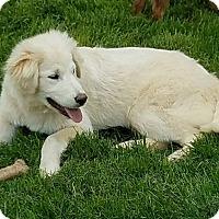 Adopt A Pet :: Blizzard - New Oxford, PA