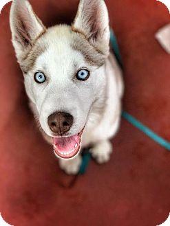 Husky Puppy for adoption in San Francisco, California - Skye