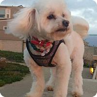 Adopt A Pet :: Fluffy - San Diego, CA