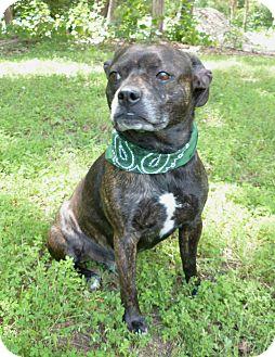 Boston Terrier/Pug Mix Dog for adoption in Mocksville, North Carolina - Bruzer