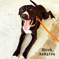 Labrador Retriever Mix Dog for adoption in Conroe, Texas - BIRCH