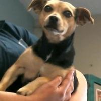Chihuahua Mix Dog for adoption in Bakersfield, California - 155552