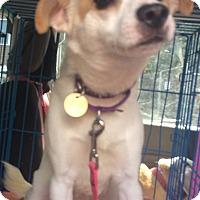 Adopt A Pet :: Chase - Oak Ridge, NJ