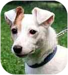 Jack Russell Terrier Mix Dog for adoption in Rhinebeck, New York - Helena