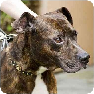 American Pit Bull Terrier Mix Dog for adoption in Berkeley, California - Boots