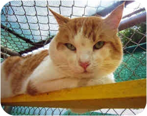 Domestic Shorthair Cat for adoption in Puunene, Hawaii - Chuck